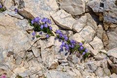 Alpine flowers. Growing on rocky wall, Julian Alps Stock Photo