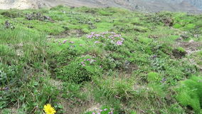 Alpine flowers like moss campion (Silene acaulis) and herbal arnica flower. Located at Grossglockner mountain area. stock footage
