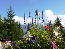 Alpine flowers and mountain. Mont Blanc massif in the French Alps with alpine flowers in foreground Stock Photos