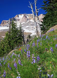 Alpine Flowers and Mt Hood. Purple lupines and red Indian paintbrush make a colorful foreground to the snow-spotted Mt Hood in the Oregon summertime royalty free stock photography