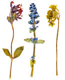 Alpine flowers. Set of wild alpine flowers pressed, isolated Royalty Free Stock Image