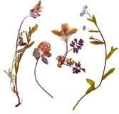 Alpine flowers. Set of wild alpine flowers pressed, isolated Stock Images