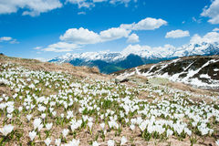Alpine flowers in spring. Blossoming flowers on an alpine meadow with mountains in the background at Fiescheralp, Wallis Switzerland royalty free stock photo