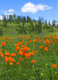 Alpine flowers. Spring time, mountains Stock Image