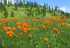 Alpine flowers. Spring time, mountains Royalty Free Stock Photography