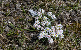Alpine flowers in spring Royalty Free Stock Images
