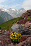 The Alpine flowers in stones Stock Photo