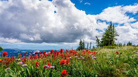 Alpine Flowers at Tod Mountain Royalty Free Stock Photos