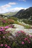 Alpine flowers - wild heath growing over boulders Royalty Free Stock Photo