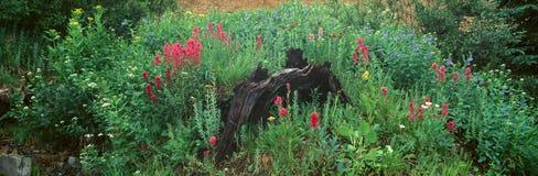 Alpine flowers in Yankee Boy Basin Stock Image