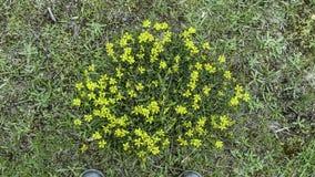 Alpine flowers. Yellow flowers grass Stock Photography