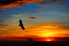 Alpine flying eagle in sunset. In Taiwan stock photos