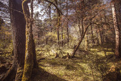 Alpine forest. At an altitude of over 2,000 meters Royalty Free Stock Photo