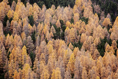 Alpine forest autumn Italy Stock Images