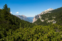 Alpine forest. With heath vegetation, Italy Royalty Free Stock Image