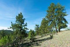 Alpine forest. Mountain landscape, Florissant, Colorado royalty free stock image