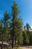 Alpine forest. Mountain landscape, Florissant, Colorado stock image