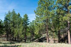 Alpine forest. Mountain landscape, Florissant, Colorado stock images