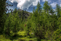 Alpine forest. With pine trees and larch trees Royalty Free Stock Photography