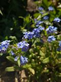 Alpine forget-me-not flowers macro royalty free stock photography