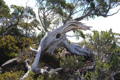 Alpine Forrest, Mt. Field. Tasmania. Gnarly weathered tree near top of Mt. Field. Tasmania Stock Image