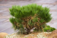 Alpine garden with dwarf conifers. Close up Stock Photos