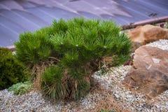 Alpine garden with dwarf conifers. Close up Stock Photo