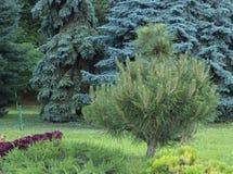 Alpine garden with dwarf conifers close up.  Stock Photos