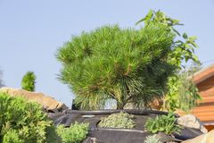 Alpine garden with dwarf conifers close up.  Royalty Free Stock Photography