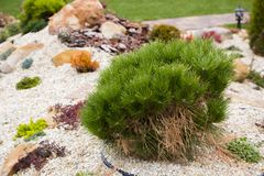 Alpine garden with dwarf conifers. Close up Royalty Free Stock Photography
