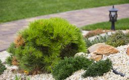Alpine garden with dwarf conifers. Close up Royalty Free Stock Image