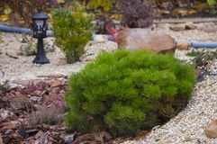 Alpine garden with dwarf conifers. Close up Royalty Free Stock Photo