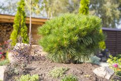 Alpine garden with dwarf conifers close up.  Royalty Free Stock Images