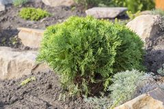 Alpine garden with dwarf conifers close up.  Royalty Free Stock Image