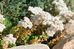 Alpine garden with flowering plants Stock Images