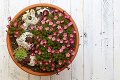 Alpine Garden Sedum Saxifrage Pink Flowers Blossom White Backgro Stock Images