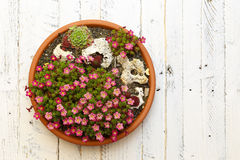 Alpine Garden Sedum Saxifrage Pink Flowers Blossom White Backgro Stock Photo