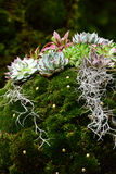 Alpine garden with succulents and moss Royalty Free Stock Photos