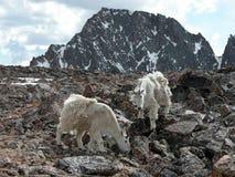 Alpine Gebirgsziegen Stockfoto