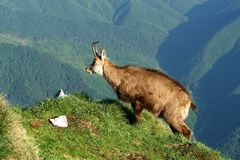 Alpine Goat stock photography