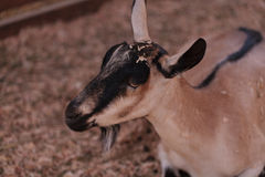 Alpine Goat, Capra aegagrus hircus. In a barn on a small farm in summer Royalty Free Stock Image