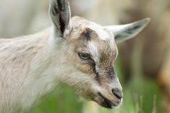 Alpine goat Stock Image