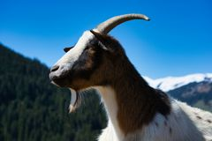 Alpine Goat, close up image. She has lost one of her horns but is still charming royalty free stock image