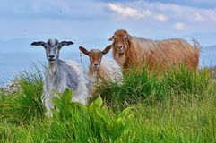 Alpine Goats stock images