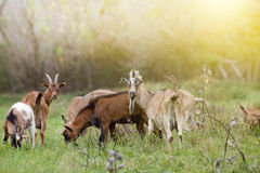 Alpine goats Stock Photography