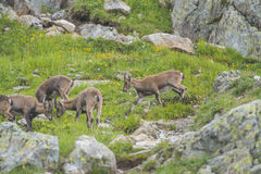Alpine goats on the rocks, mount Bianco, mount Blanc, Alps, Italy Stock Image
