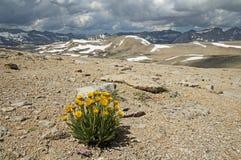 Alpine Gold Wildflower Above Humphreys Basin. Alpine gold yellow wildflower growing on a barren slope above Humphreys Basin in the Sierra Nevada Mountains of Stock Photo
