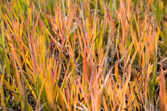 Alpine Grasses changing Colors Royalty Free Stock Photos