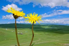 Alpine grassland. The dandelion are blooming in alpine grassland in Gannan, Gansu, China royalty free stock image