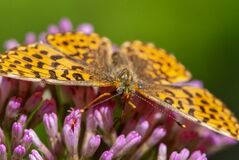 Alpine hairy close-up butterfly with a eye like soccer ball on purple flower